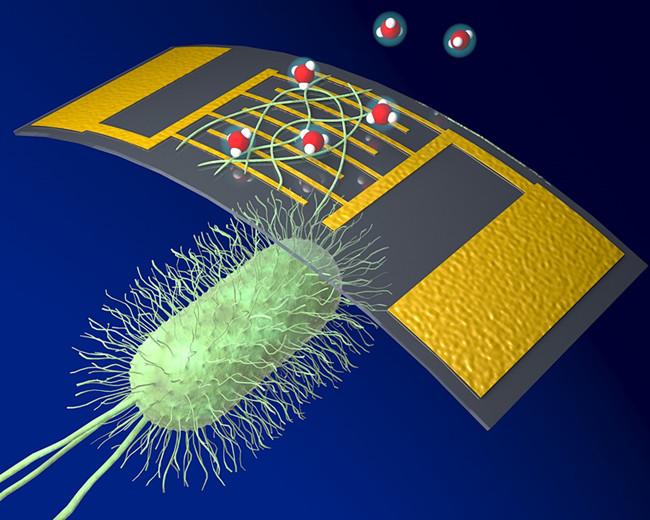 科学家利用蛋白质纳米线制作出高灵敏化学传感器